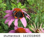 A Pink Echinacea Flower On...