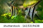 Angelfish Pterophyllum scalare in an aquarium