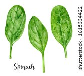 Spinach Herb Watercolor...