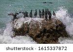 Crowned Cormorants In Sea Spray