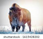 Prairie Bison In A Frosty...