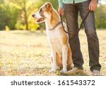 Stock photo man and central asian shepherd walk in the park he keeps the dog on the leash 161543372