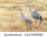 A Pair Of Sandhill Cranes In A...