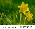 Beautiful Colorful Narcissus Or ...