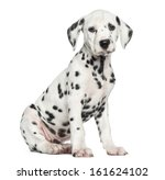 Stock photo side view of a dalmatian puppy sitting looking at the camera isolated on white 161624102