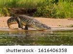 A Nile Crocodile  The Bigger...