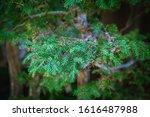 Closeup Of A Juniper Pine...