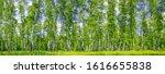 birch grove on a sunny spring... | Shutterstock . vector #1616655838