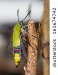 Small photo of Close up of pellucid hawk moth or greenish hyaline hawk moth (Cephonodes hylas Linnaeus) resting on stick, side view