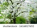 White Dogwood Flower Tree In...