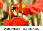 Close Up Of Red Poppies And A...