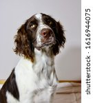 Small photo of Portrait image of a young English Springer Spaniel (edited)