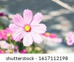 cosmos flower in flower field.... | Shutterstock . vector #1617112198