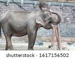 Sumatran Elephants Are A...