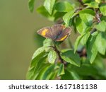 Female Brown Hairstreak...