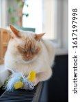 Thai  Siamese  Domestic Cat...