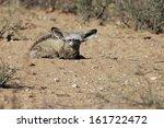 otocyon megalotis  bat eared... | Shutterstock . vector #161722472