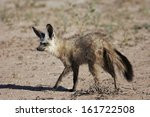 otocyon megalotis  bat eared... | Shutterstock . vector #161722508
