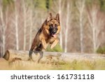 walk with a german shepherd | Shutterstock . vector #161731118