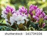 Pink Azalea Bush In Blossom