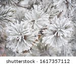 Pine Branches In Frosty...