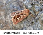Antler Moth, Cerapteryx graminis. The beautifully attractive species sitting on a rock.