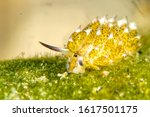 Small photo of Costasiella kuroshimae is a species of sacoglossan sea slug, a shell-less marine opisthobranch gastropod mollusk in the family Costasiellidae. It has the ability to incorporate chloroplasts from the a