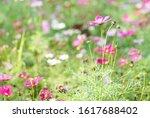 cosmos flower in flower field.... | Shutterstock . vector #1617688402