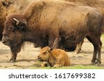 A Female American Bison With...