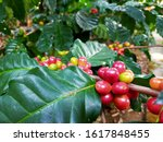 Coffee Plantations In Thailand...
