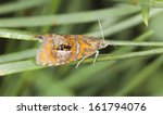 tortrix moth  olethreutes... | Shutterstock . vector #161794076