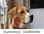 beagle dog looking to something | Shutterstock . vector #1618000582