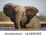 A Young African Elephant Havin...