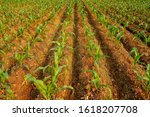Maize Or Corn Organic Planting...
