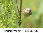 willow warbler holding onto... | Shutterstock . vector #161832332