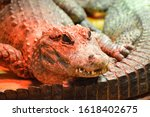 Red Color The Chinese Alligator