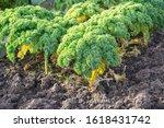 kale on a vegetable garden...