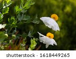 White Blooming Flowers Of...