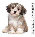 Beautiful Little Havanese Pupp...
