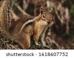 Chipmunk In The Forest. The...