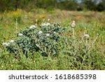 Beautiful White Prickly Poppy...