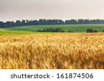 Gold Wheat Field And Blue Sky....