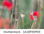 Dry Poppy Pods On Summer Meadow ...