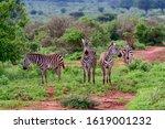 Zebra In The National Park...