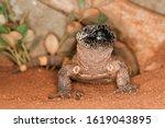 Beaded Lizard  Heloderma...
