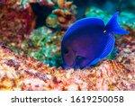 Blue Tang Fish Feeding On The...