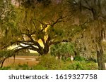 A Isolated Oak Tree With...