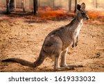 Kangaroo  Baby From Australia...
