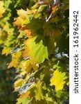 autumn leaves  | Shutterstock . vector #161962442