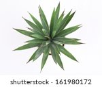 agave in pot  | Shutterstock . vector #161980172
